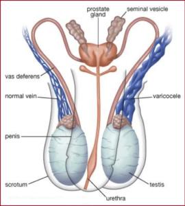 Pharmacopée N° 18 :  Remède naturel contre la varicocèle testiculaire