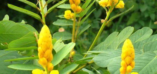 Comment guérir l'hépatite à partir de la plante Téphrosia Toxica?