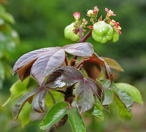 jatropha rouge
