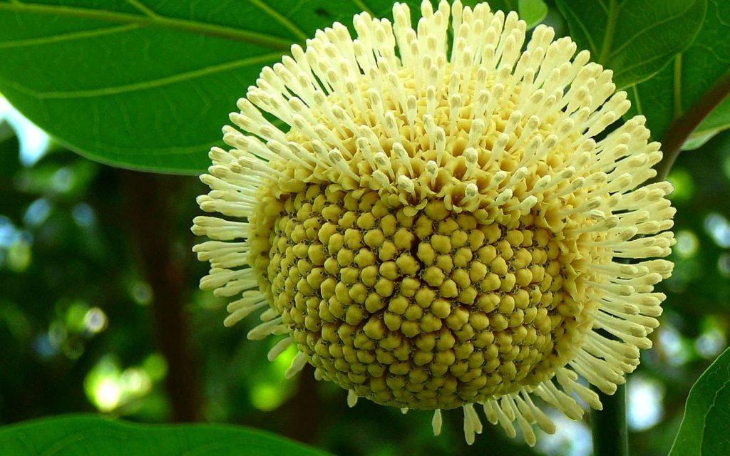 nucléa latifolia