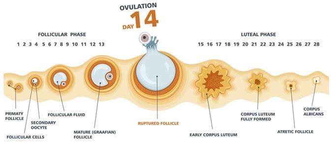 Comment stimuler l'ovulation de façon naturelle ?