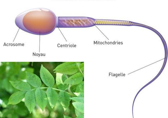 Comment augmenter la quantité des spermatozoïdes avec le kinkéliba ?