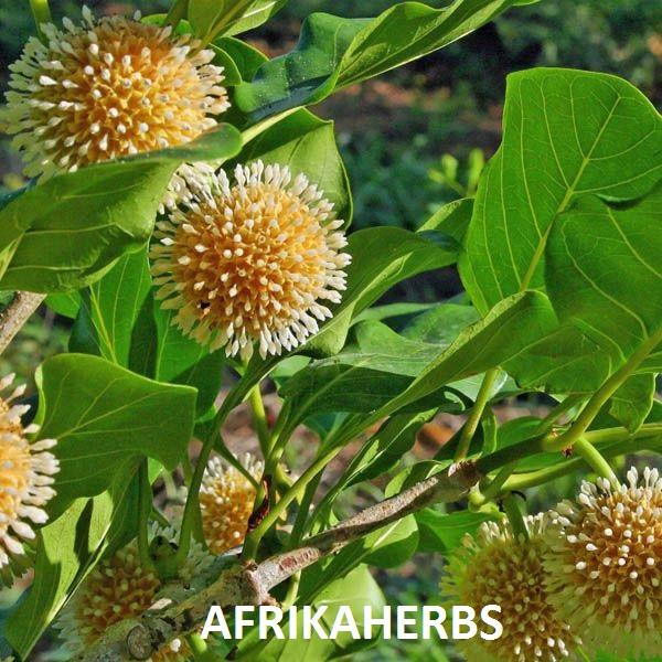 le Naucléa latifolia