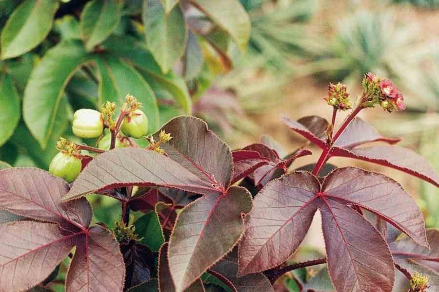Jatropha rouge, la plante qui a guéri ce couple du VIH
