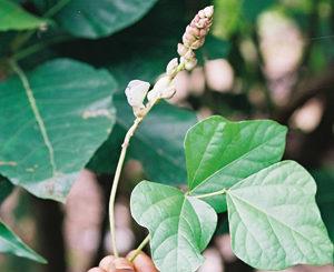 Les plantes médicinales au Congo