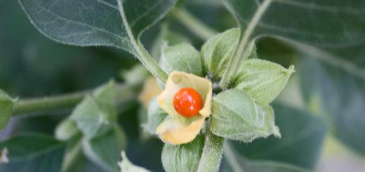 Comment augmenter le nombre de spermatozoïdes avec l'ashwagandha ?