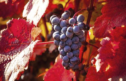 La vigne rouge contre les hémorroïdes