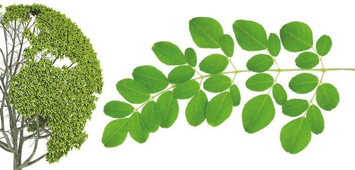 Les feuilles du moringa