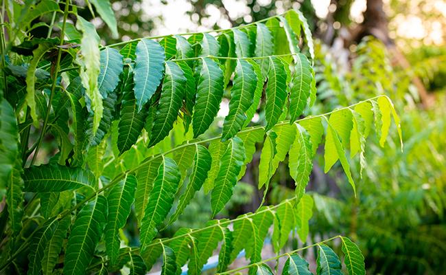 Margousier ou neem
