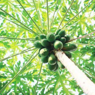 Bienfaits, vertus du papayer sur la santé