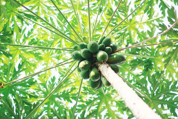 Origine du papayer