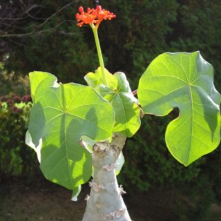 Jatropha curcas blanc : vertus de la plante médicinale