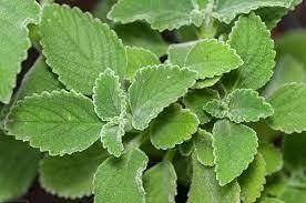 Hépatite B : 3 plantes pour atteindre la délivrance spontanée