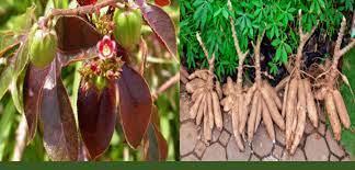 Jatropha et manioc