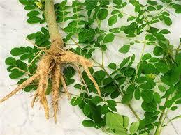 Cliquez-ici pour découvrir les vertus aphrodisiaques de la racine de moringa