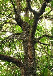 Tout ce que vous devez savoir sur le Bois bandé africain